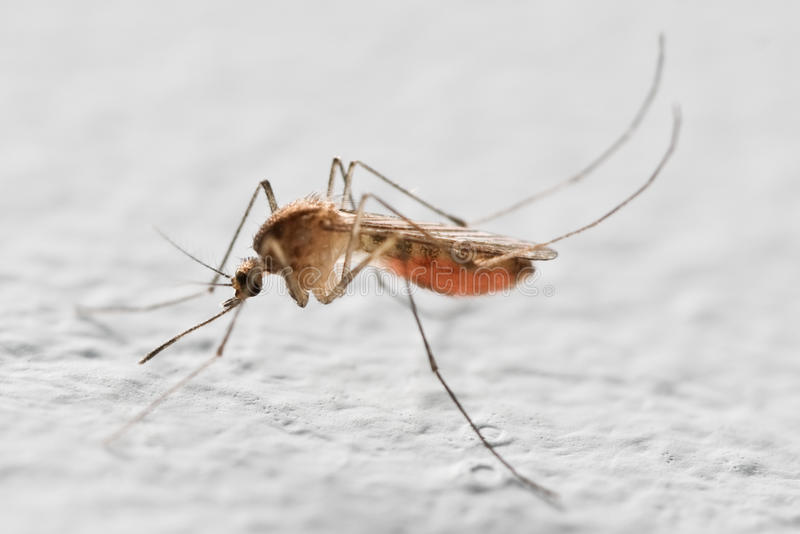 komar obraz stock