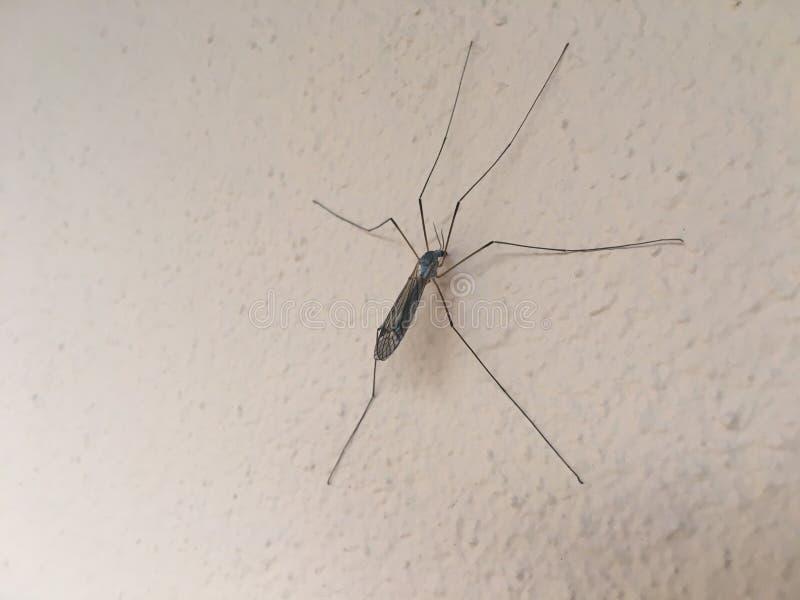komar zdjęcie stock