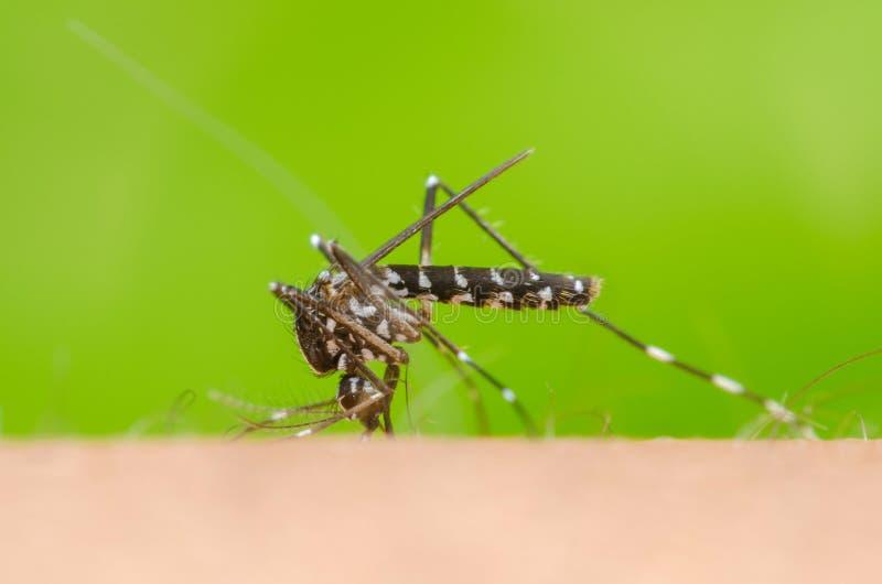 Komar na skóry istocie ludzkiej zdjęcie royalty free