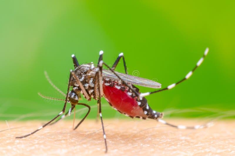 Komar na skóry istocie ludzkiej obrazy royalty free