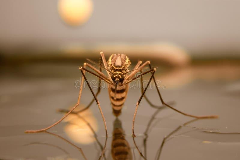 Komar na wodzie zdjęcie royalty free