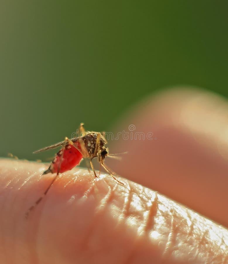 Komar pił krew obrazy royalty free