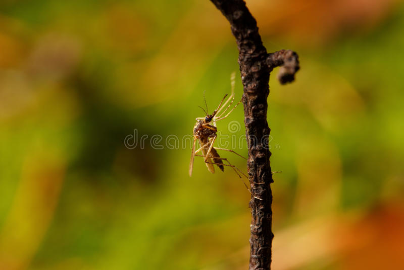 Komar w naturze fotografia stock
