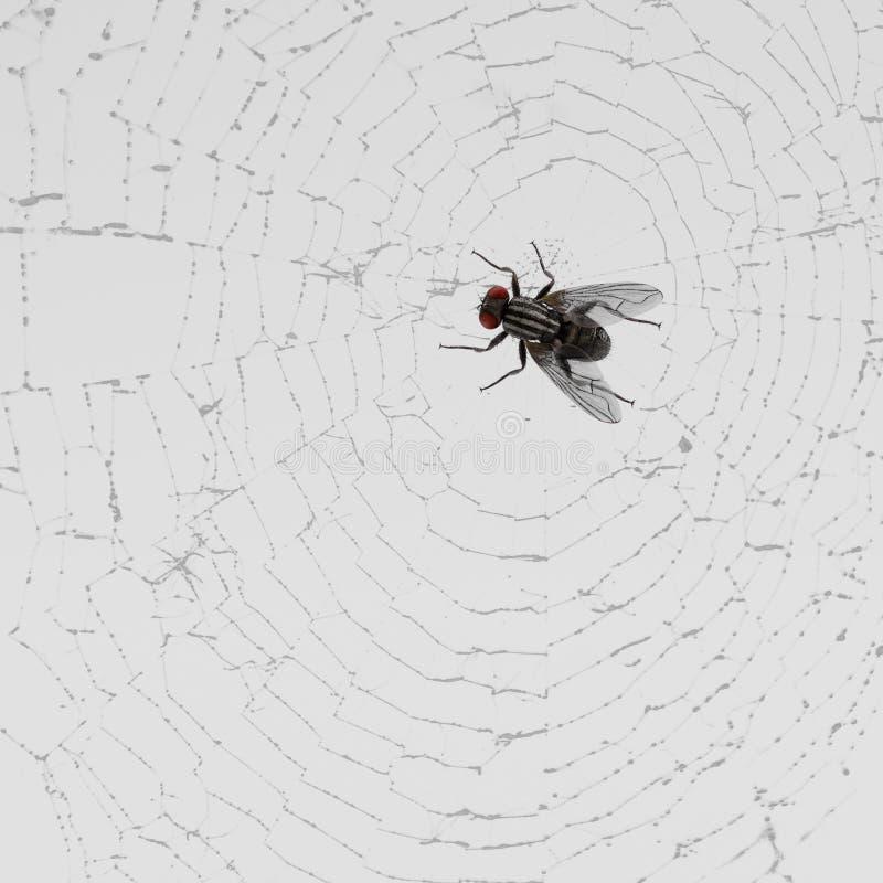 Komarnica Łapać w pułapkę na pajęczynie ilustracja wektor