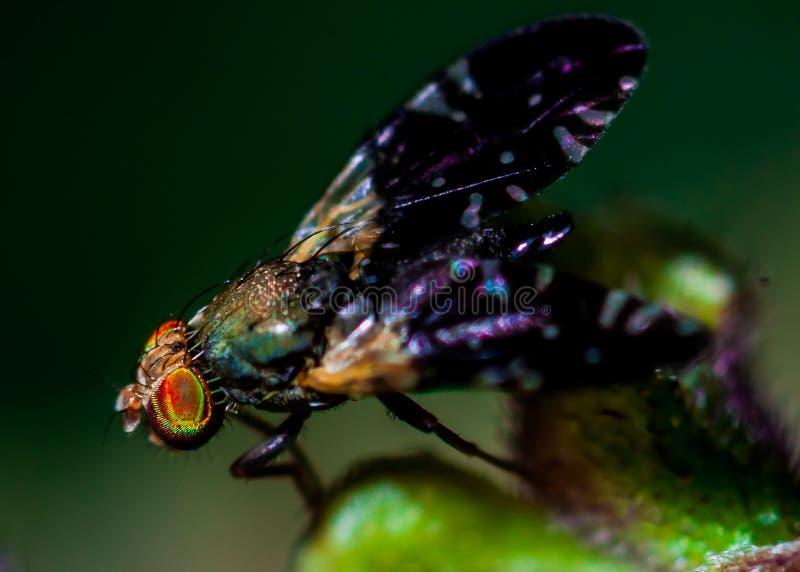 komarnica zdjęcia stock