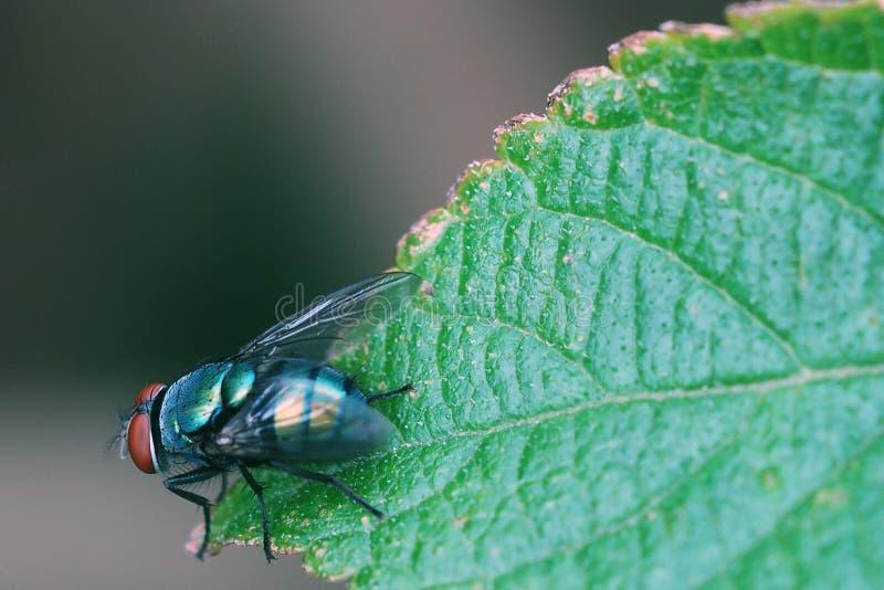 komarnica obrazy stock