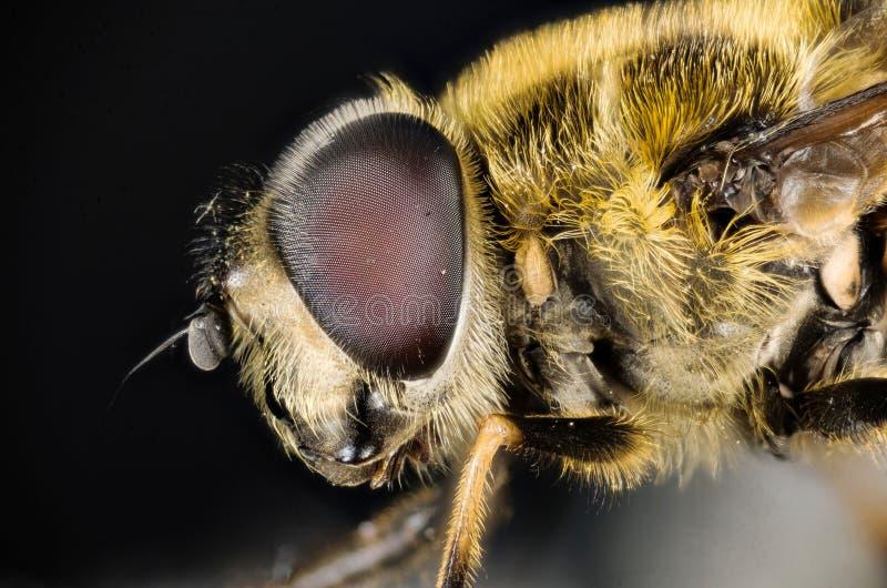 Komarnica, Hoverfly, komarnica, Lata obrazy royalty free