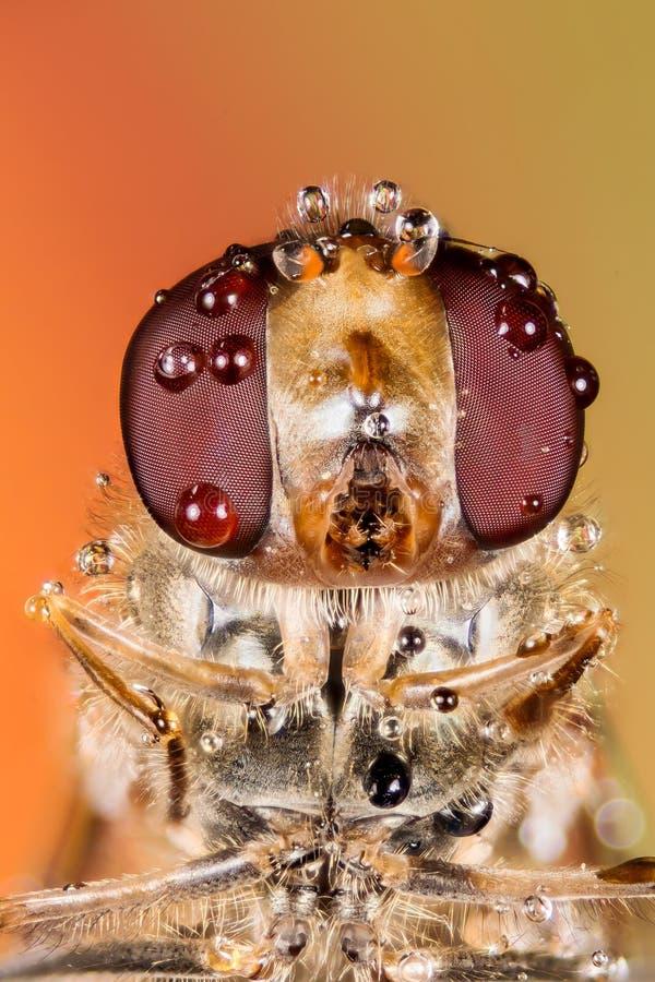 Komarnica, Hoverfly, komarnica, Lata zdjęcie royalty free