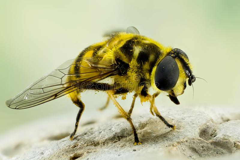 Komarnica, Hoverfly, komarnica, Lata zdjęcia stock
