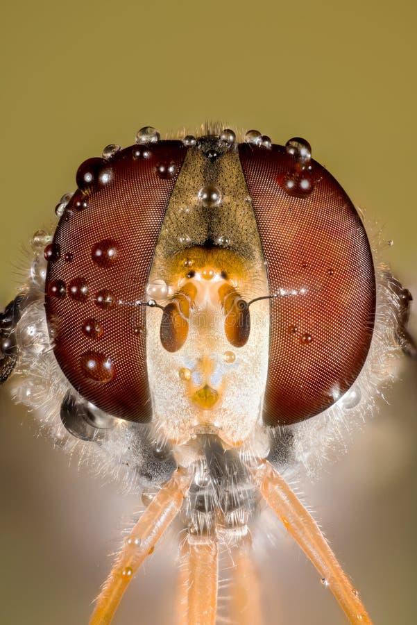 Komarnica, Hoverfly, komarnica, Lata fotografia royalty free