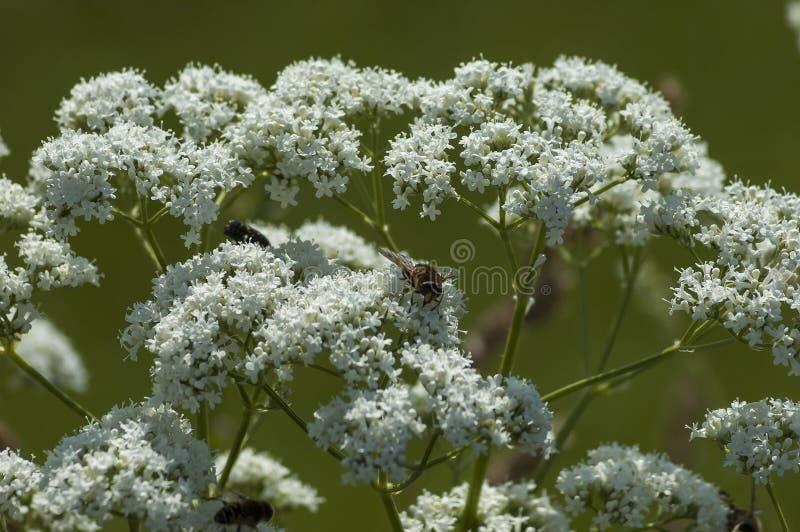 Komarnica insekt na dzikim białym halnym kwiacie, Środkowa Bałkańska góra, Stara Planina zdjęcia royalty free