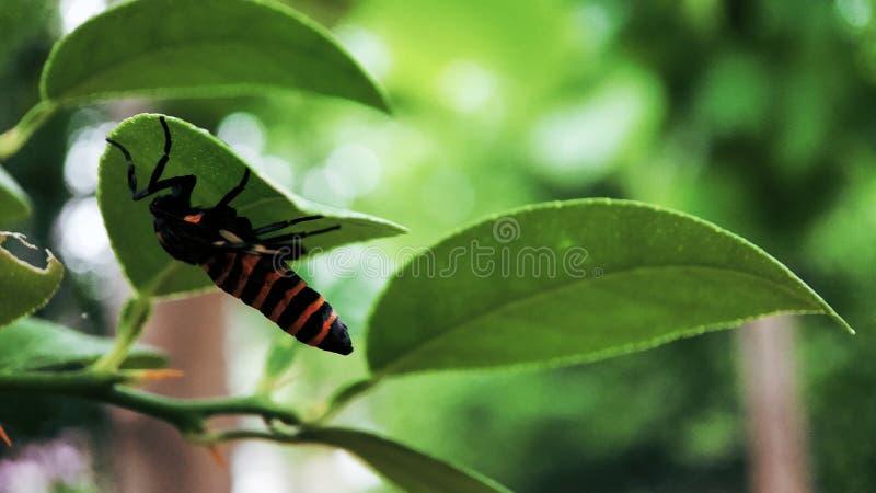 Komarnica insekta obsiadanie na liściu od puszek strony obrazy royalty free