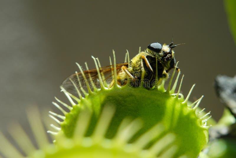 Komarnica jedząca mięsożerną rośliną obraz stock