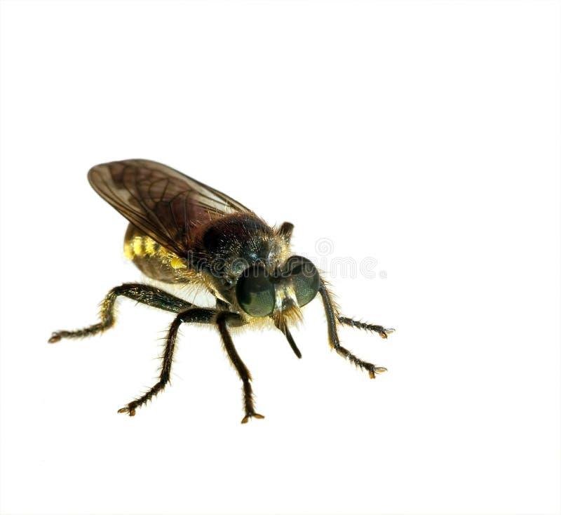 komarnica odizolowywająca zdjęcia stock