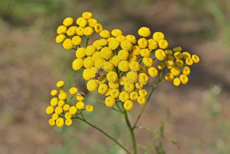 Komarnica zbiera nektar na kwiatach tansy zdjęcia stock
