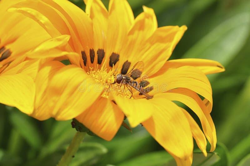 Komarnica zbieracki nektar na żółtym kwiacie Wiosna zdjęcie stock