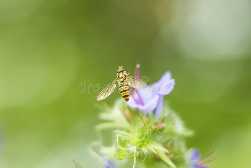 Komarnicy Hoverfly czasem dzwoniący kwiat lata lub syrphid lata latanie hoverfly siedzi blisko lilego kwiatu w letni dzień makro- obraz royalty free
