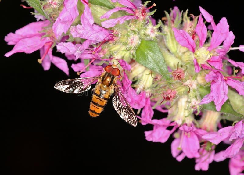 komarnicy piękny hover fotografia stock