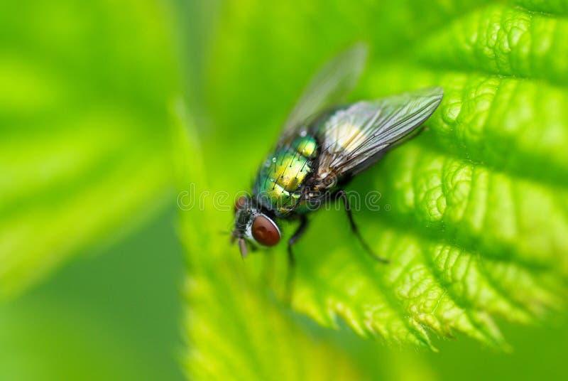 komarnicy zieleń obrazy stock