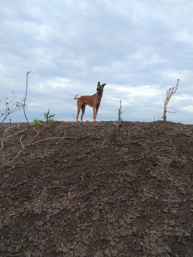 Kombai l'orgoglio stante della razza indiana del cane da caccia nella giungla fotografia stock
