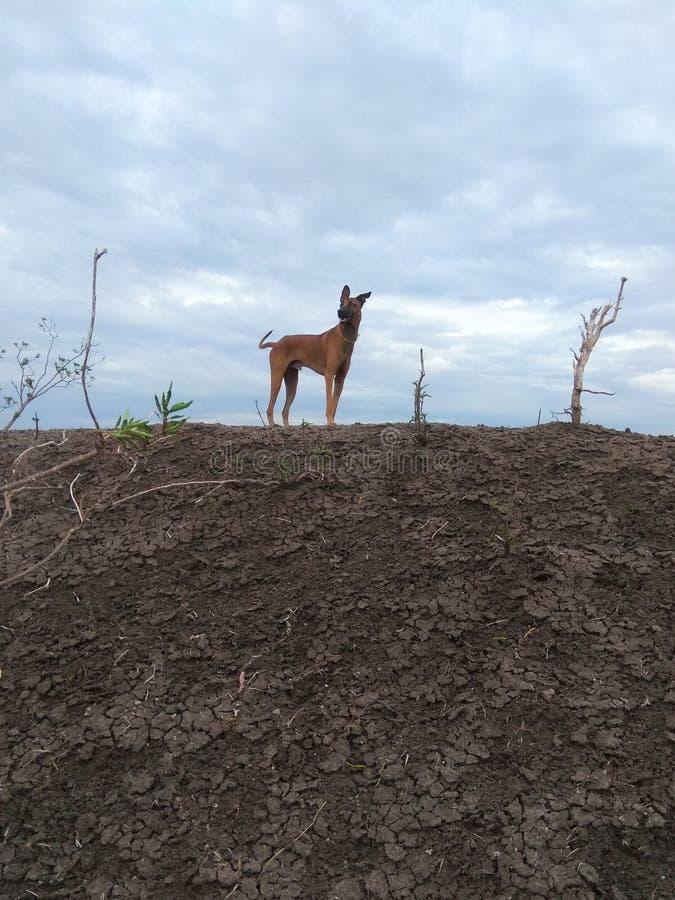 Kombai o orgulho estando da raça indiana do cão de caça na selva fotografia de stock