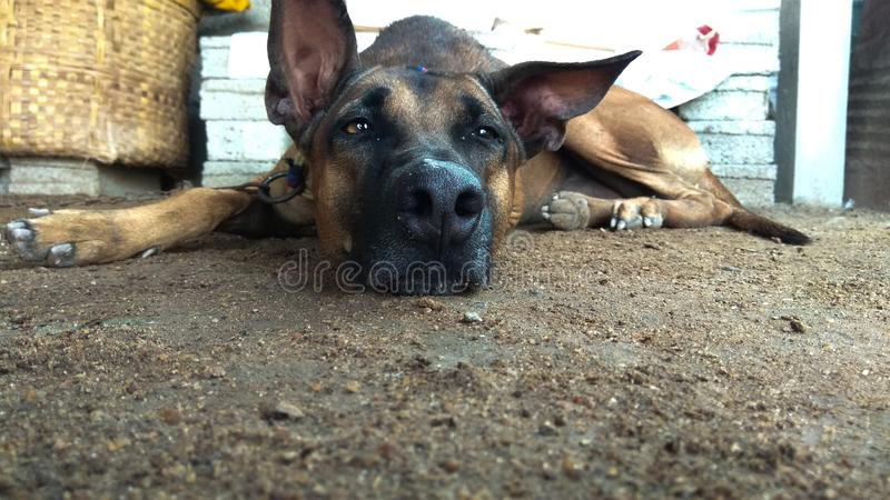 Kombai o sentimento indiano da raça do cão de caça preguiçoso foto de stock royalty free