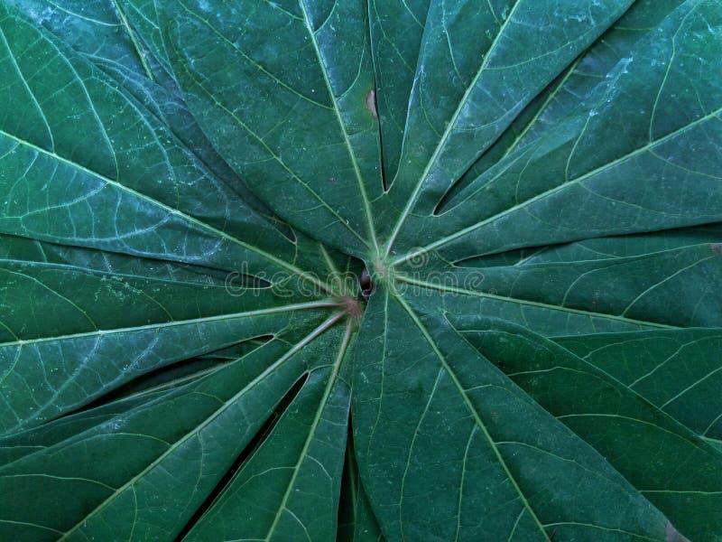 Kombinacja liścia kasawa fotografia stock