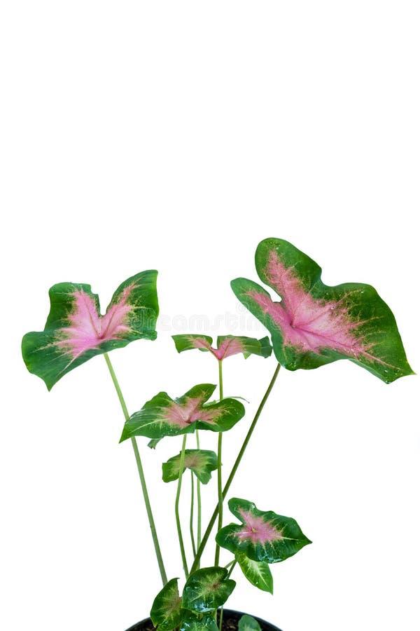 Kombinacja piękni czerwoni i zieleni Caladiums liście zdjęcia royalty free
