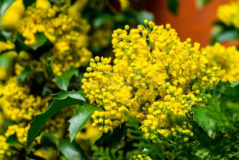 Kombination av ljusa gula doftande blommor med mörkt - gröna sidor gör Mahonia Aquifolium den populära eleganta busken royaltyfria bilder