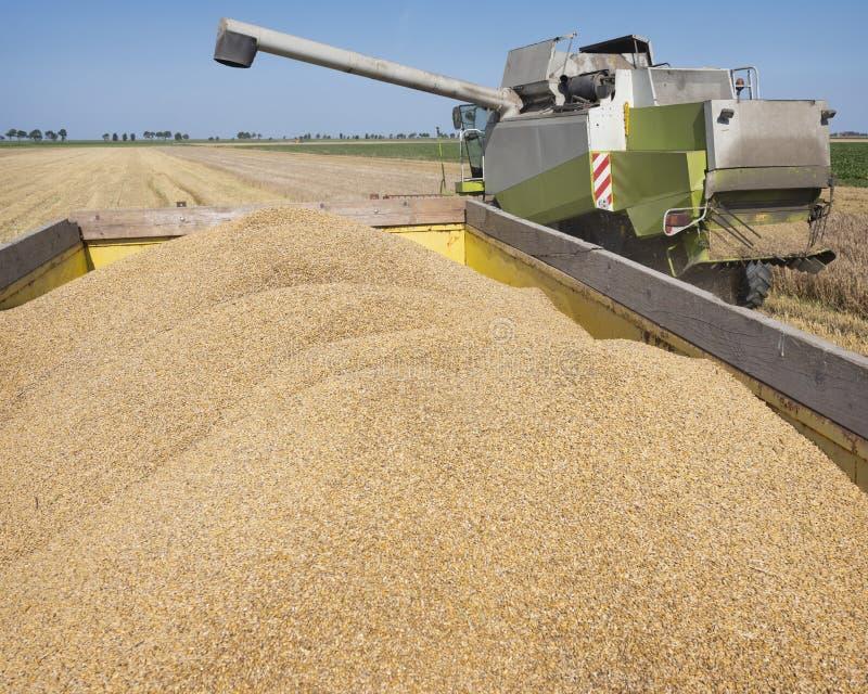 Kombinera skördare under kornskörden på landsbygden i norra groningen i Nederländerna arkivfoton