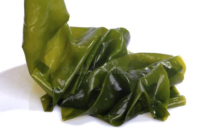 Kombu kelp is a large brown algae seaweed. Binomial name: Laminaria Ochroleuca. It is an edible seaweed used extensively in Japane. Se cuisine. on white royalty free stock image