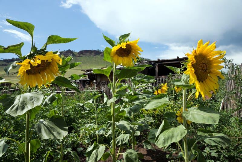Komen de Hree gemeenschappelijke zonnebloemen in de moestuin tot bloei tegen de hemel in een zonnige dag royalty-vrije stock fotografie