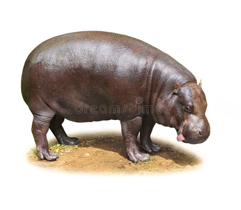 Komicznie hipopotam zdjęcie royalty free