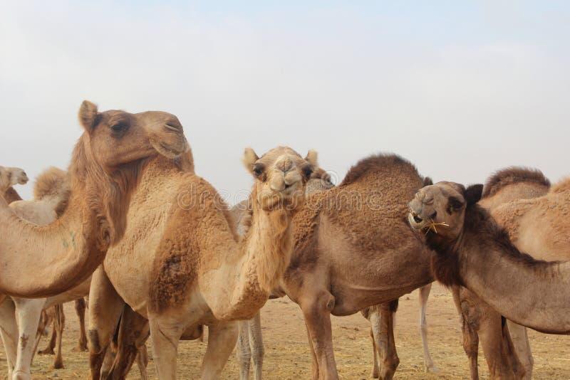 Komicznie wielbłąd grupa obrazy royalty free