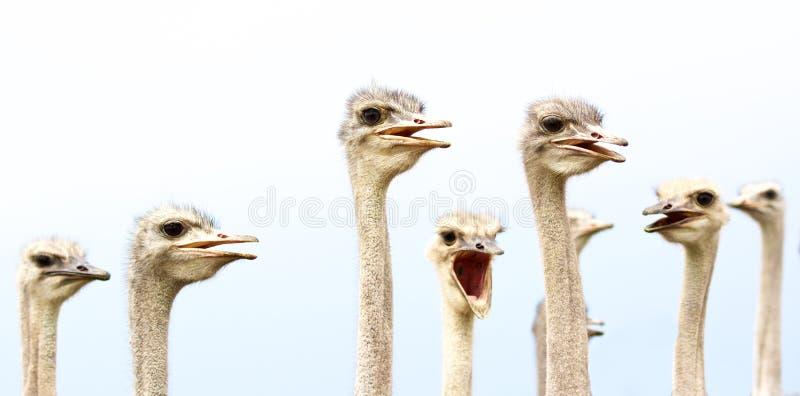 Komische struisvogelvogels royalty-vrije stock foto's