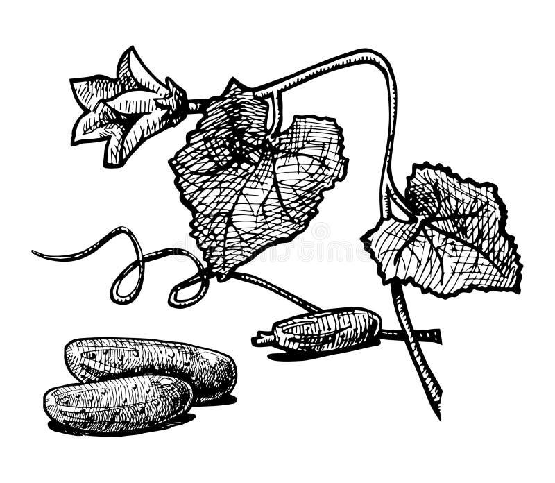 komkommer vector illustratie