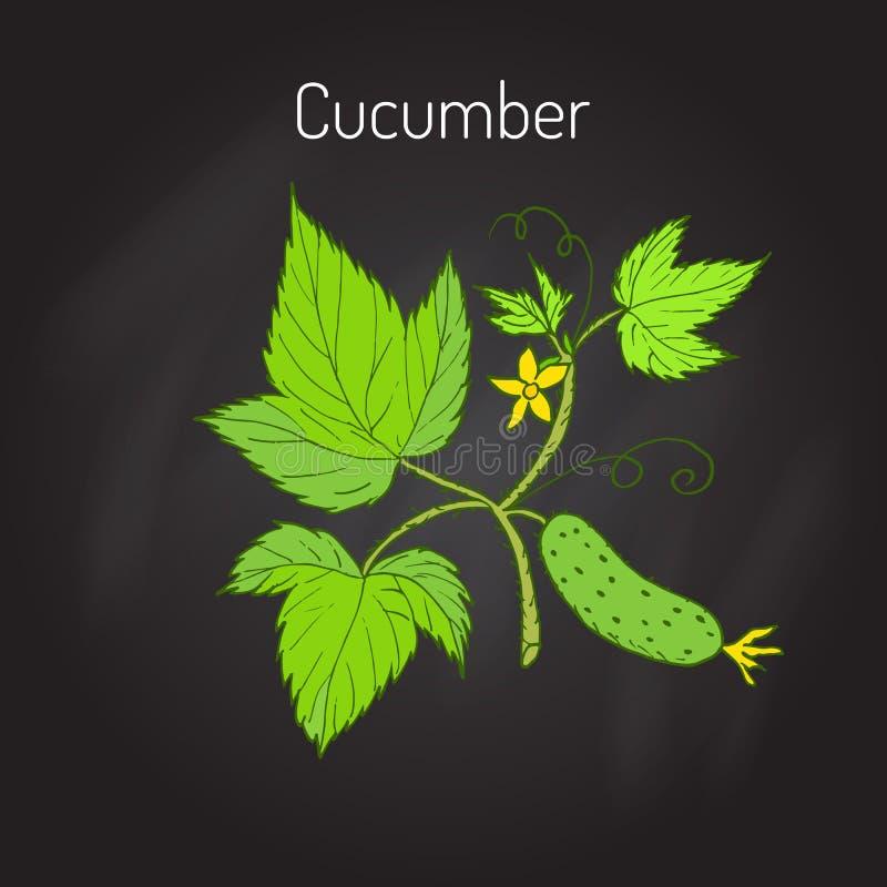 Komkommer met bloem en bladeren royalty-vrije illustratie