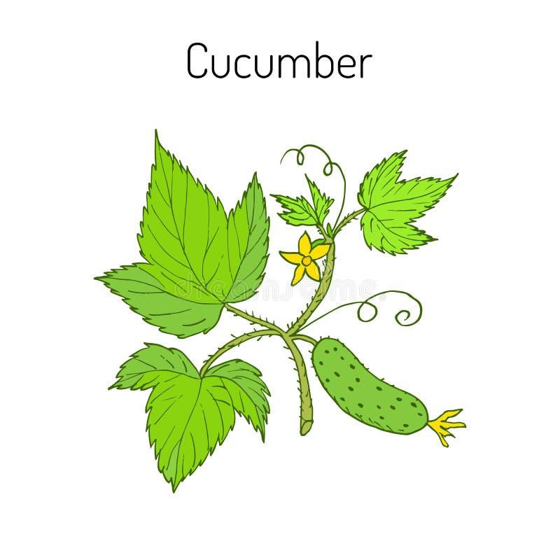 Komkommer met bloem en bladeren stock illustratie