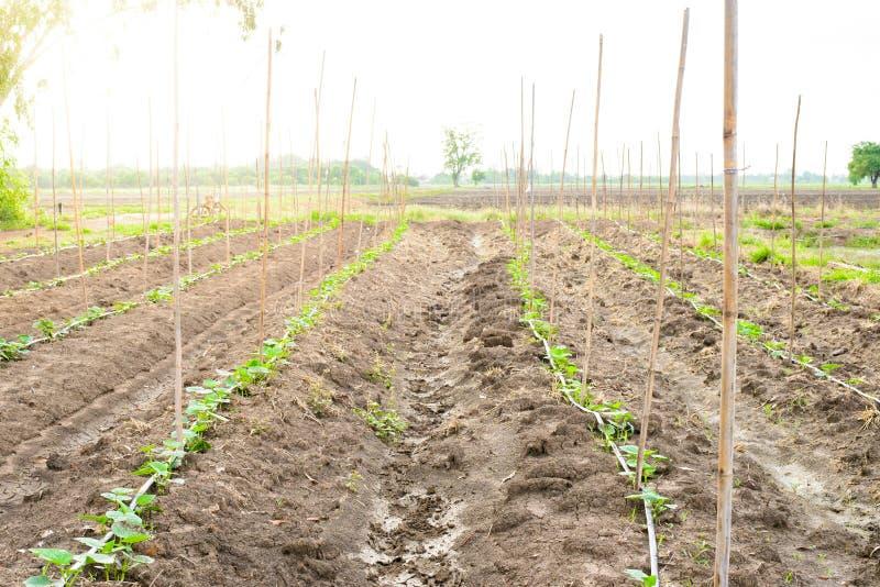 Komkommergebied het groeien met druppelbevloeiingssysteem royalty-vrije stock foto