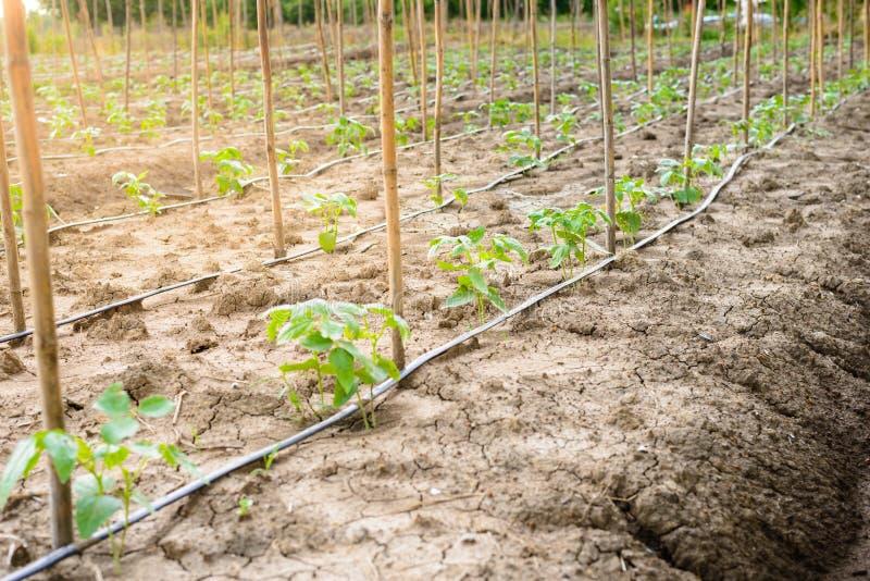 Komkommergebied het groeien met druppelbevloeiingssysteem stock afbeeldingen
