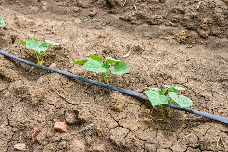 Komkommergebied het groeien met druppelbevloeiingssysteem stock afbeelding