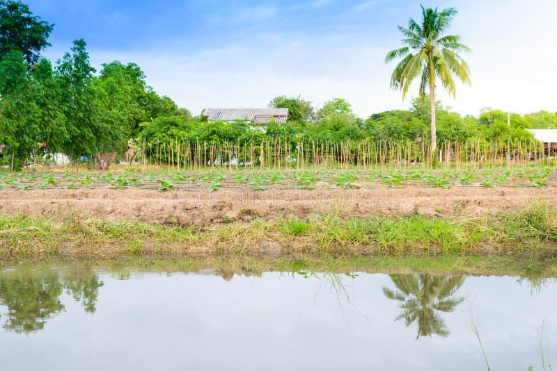 Komkommergebied het groeien met druppelbevloeiingssysteem royalty-vrije stock fotografie