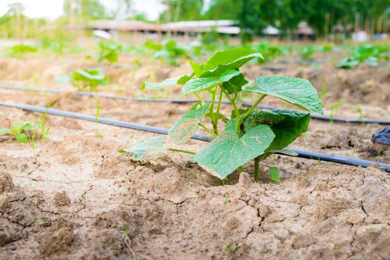 Komkommergebied het groeien met druppelbevloeiingssysteem stock foto