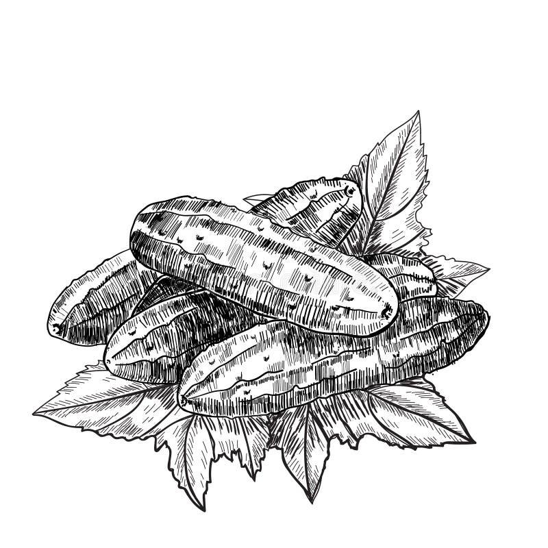 Komkommerhand getrokken vector Geïsoleerde komkommer Plantaardige gegraveerde stijlillustratie Gedetailleerde vegetarische voedse stock illustratie