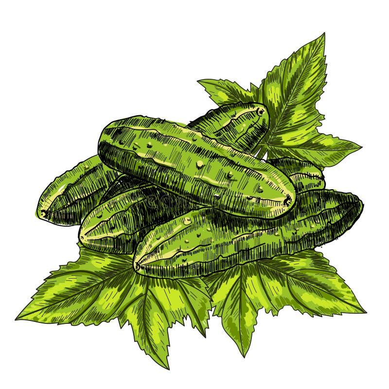 Komkommerhand getrokken vector komkommer Plantaardige gegraveerde stijlillustratie Gedetailleerde vegetarische voedseltekening vector illustratie