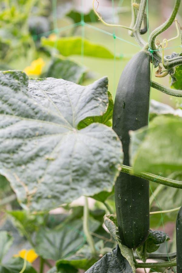 Komkommers in de tuin royalty-vrije stock foto's