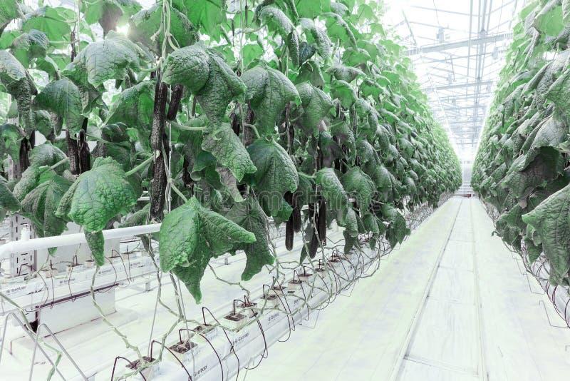 Komkommers die in een serre worden gekweekt die hydrocultuurtechnologie gebruiken stock fotografie