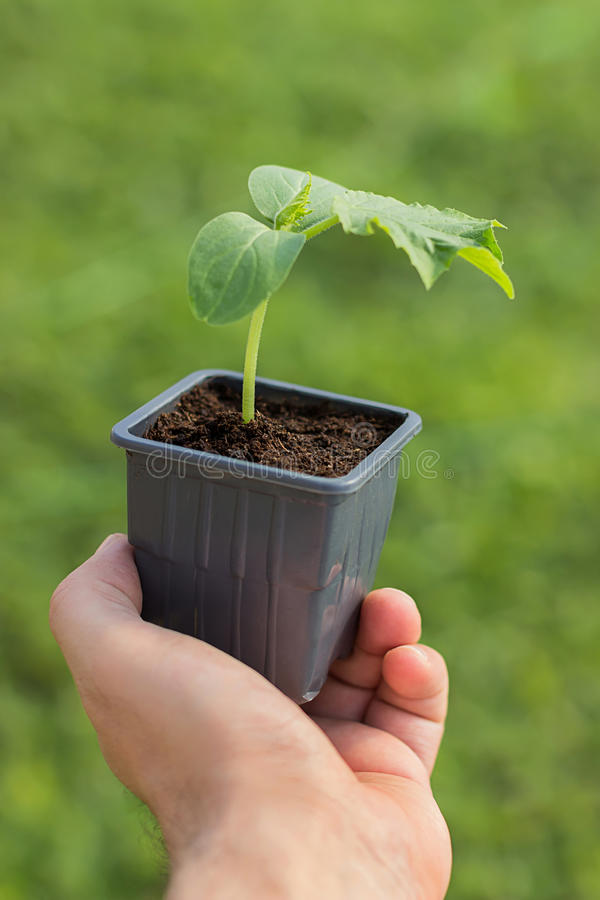 Komkommerzaailing in de handen van landbouw het Organische tuinieren royalty-vrije stock foto