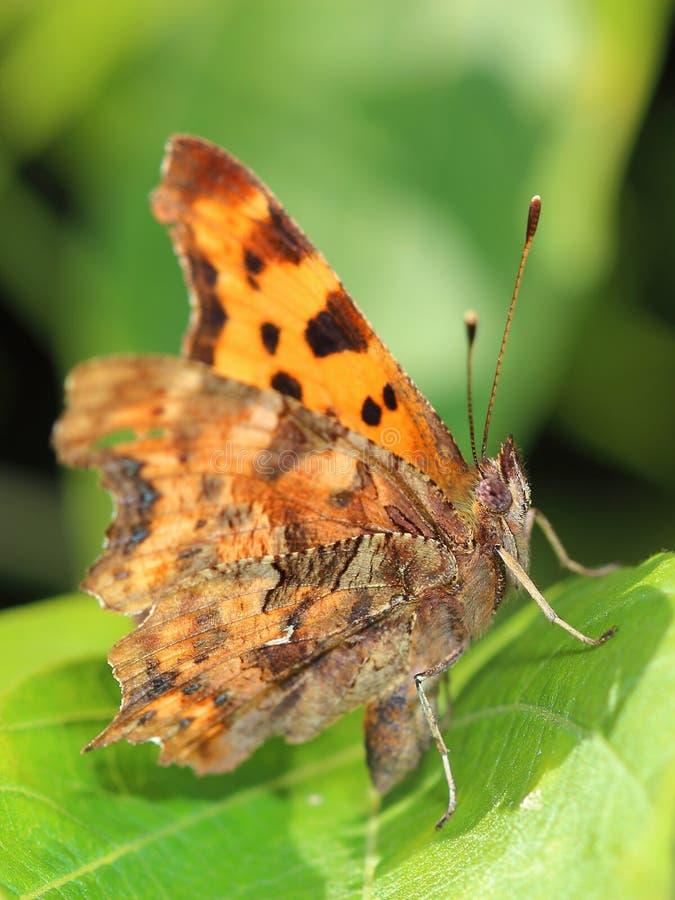 Komma-Schmetterling (Polygoniacalbum) sitzend auf Blatt lizenzfreies stockbild