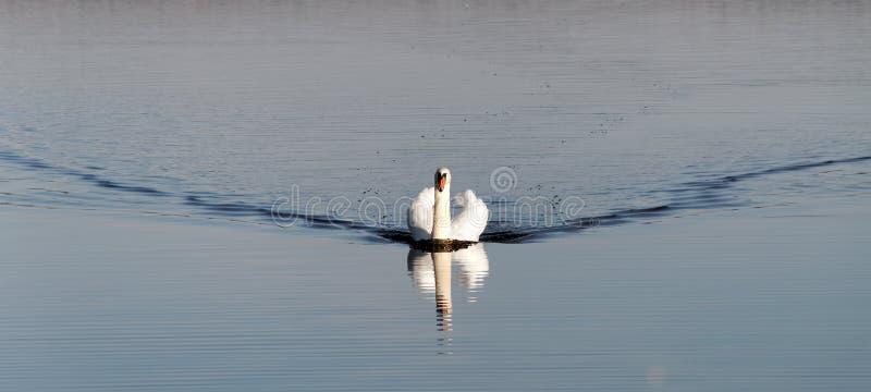 kommande swan fotografering för bildbyråer